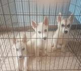 Lindos cachorros Husky